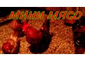 Цыплята породы МИНИ МЯСО