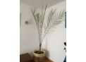 Продам финиковую пальму