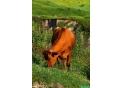 Корова. Стельная телка 2 года